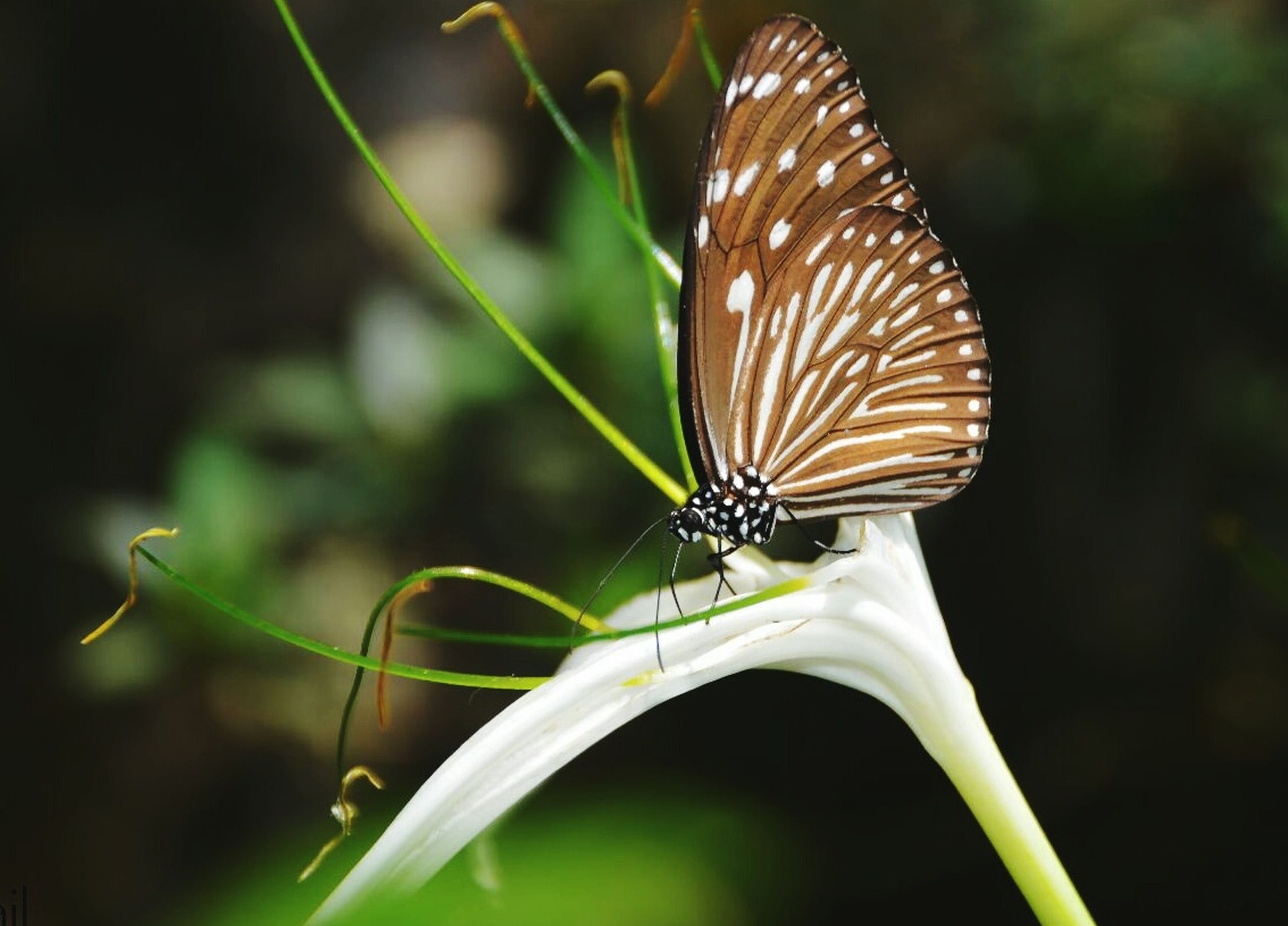 one animal, animal themes, animals in the wild, insect, wildlife, close-up, focus on foreground, animal wing, butterfly - insect, butterfly, animal markings, animal antenna, nature, natural pattern, beauty in nature, plant, zoology, outdoors, leaf, no people