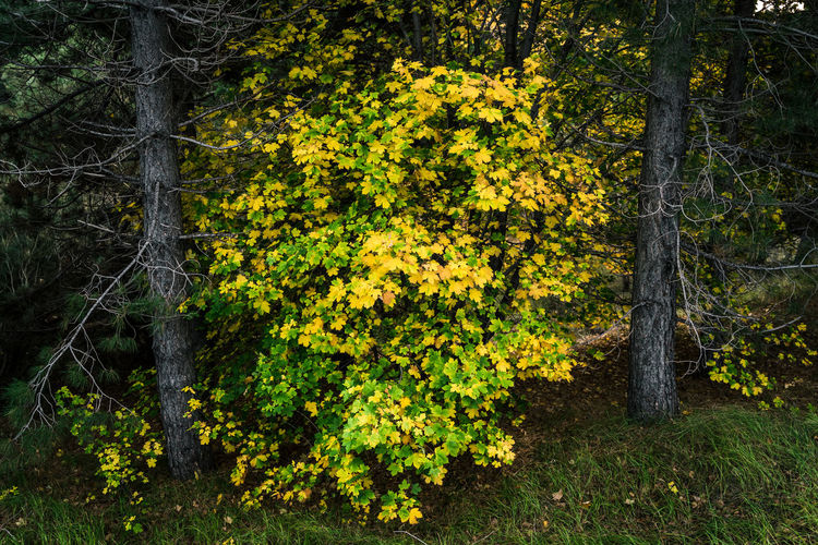 Yellow flowering trees in forest