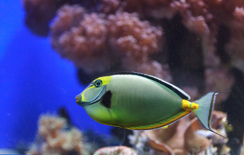 Close-Up Side View Of Naso Tang Fish In Water