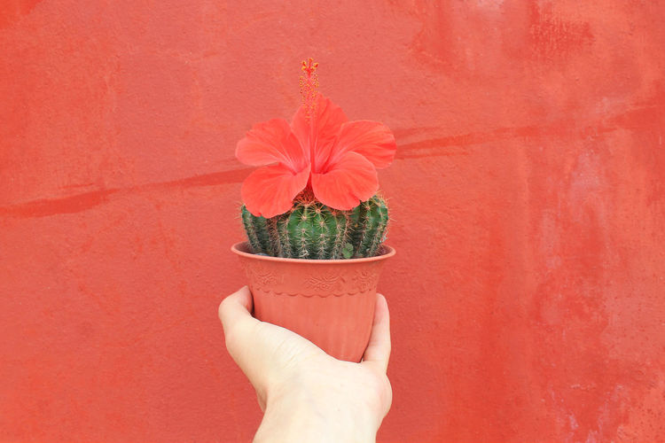 Close-up of hand holding cactus against red wall