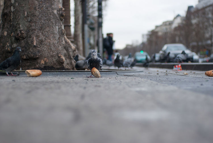 Animal Blurry City Life Day Focus On Foreground Footpath Incidental People Long No People Outdoors Paris Paris Je T Aime Pedestrian Walkway Pigeon Pigeon With Bread Road Selective Focus Street Surface Level The Way Forward Wild Life