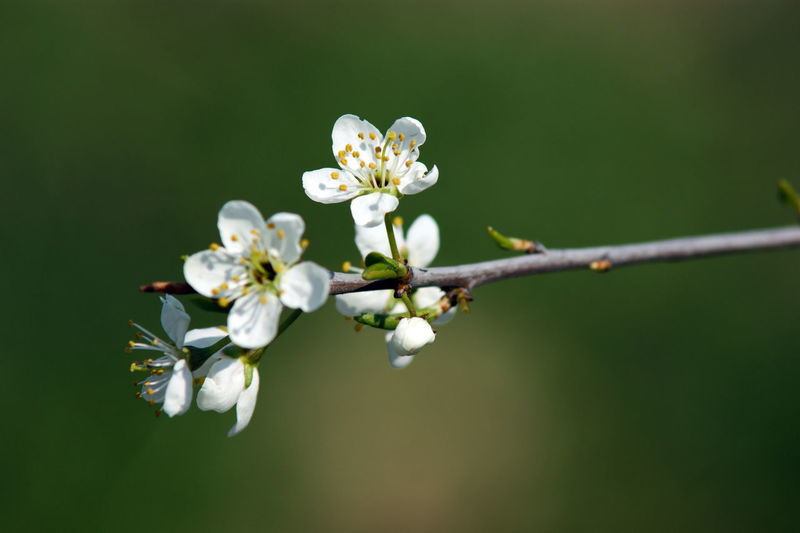 Flowering Plant Flower Plant Beauty In Nature Fragility Growth White Color Nature Petal Tree Blossom Flower Head Pollen Twig Cherry Blossom Cherry Tree Outdoors Focus On Foreground Vulnerability  Sashalmi Virágok Cseresznye Freshness Inflorescence Springtime