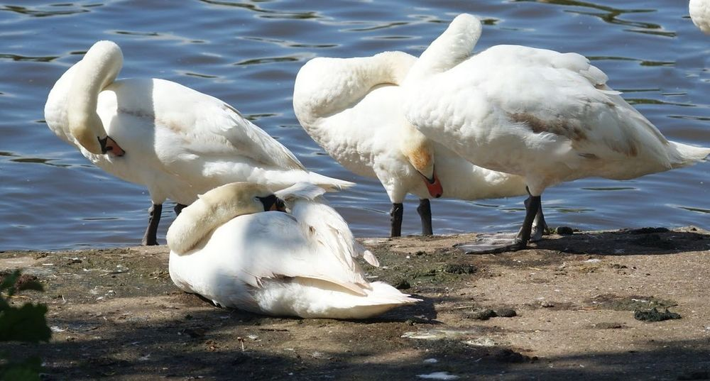 Bird Swan White Color Animal Themes Animals In The Wild Water Lake Nature No People Mute Swan Day Floating On Water Togetherness Preening Time  Preening Birds Preening Preening Swan Outdoors