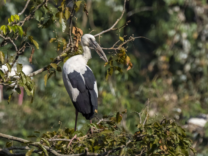 Asian Openbill (Anastomus oscitans) Animals In The Wild Bird Animal Wildlife Animal Themes Animal Vertebrate One Animal Plant No People Perching Nature Day Focus On Foreground Tree Land Branch White Color Full Length Selective Focus Plant Part