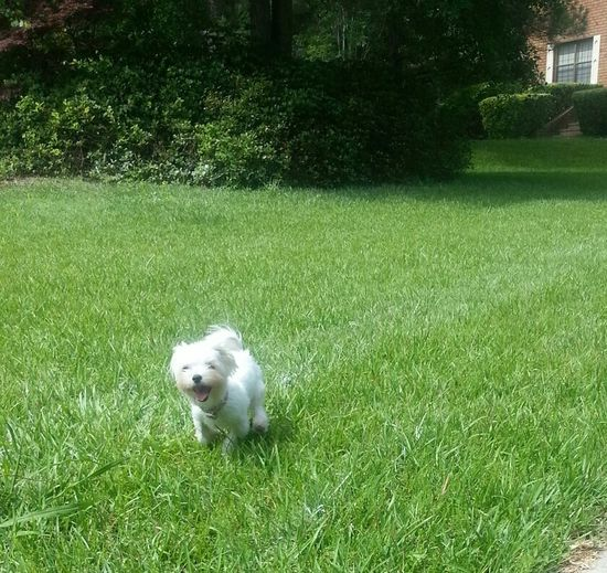 Playing Cute Puppy Maltese All White Gone With The Wind Fabulous