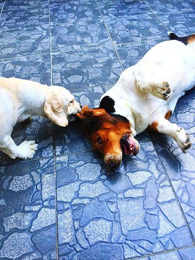 that hurts Matilda, wawa si Marcus Pets Bassethound American Cocker Spaniel Hushpuppies Beautiful Animals