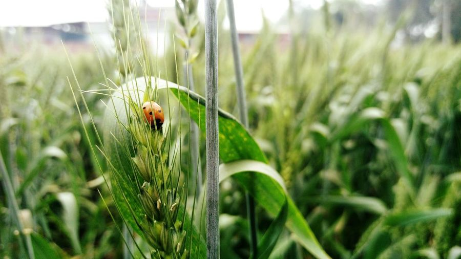 Close-up of ladybug on wheat
