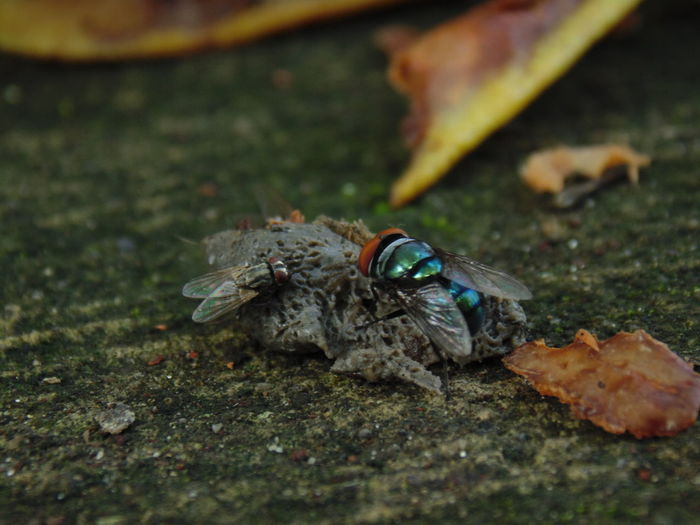 Muscidae and Calliphoridae Calliphoridae Muscidae Flies Green Bottle Fly Insect Close-up Pest
