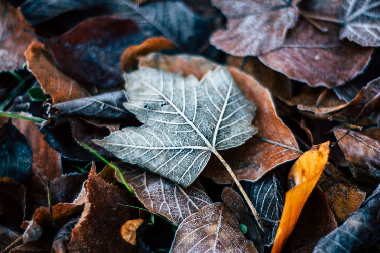 Frost Winter Autumn Beauty In Nature Change Close-up Day Dry Fragility Leaf Leaves Maple Maple Leaf Nature No People Outdoors