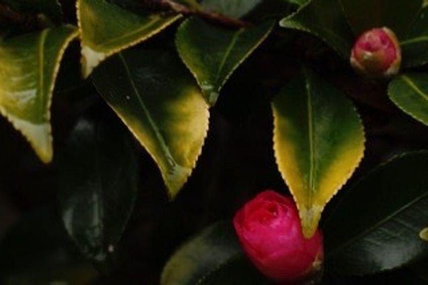 雨露の中の椿 公園 花 Flower 寒椿 晴れたけど風強い〜( * ›ω‹ )