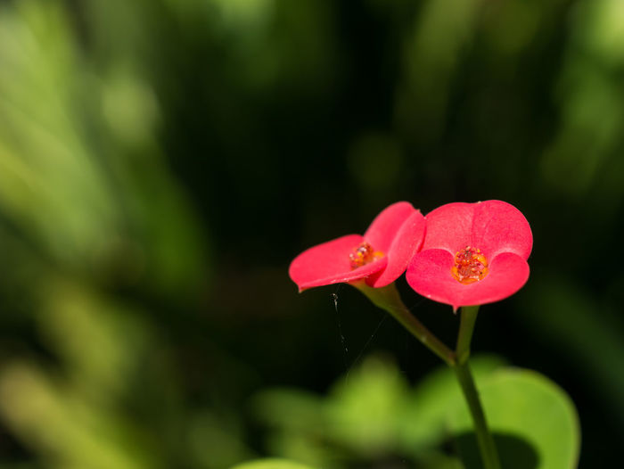 RED flower on green background.Closeup one white flower Blooming Flower Fresh Garden Green Growth Leaf Leaves Nature Petal Plant Soft Space Sunny White