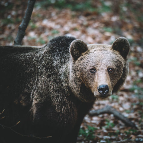 Portrait Of Bear Standing On Field