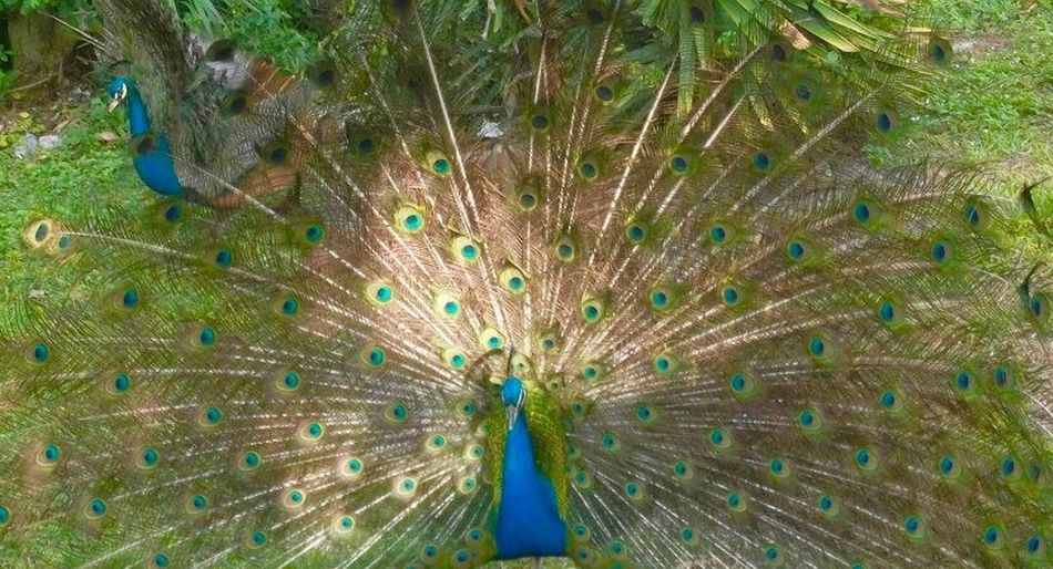 The Week On EyeEm Peacock Animal Themes Peacock Feather Feather  One Animal High Angle View Day Animals In The Wild Fanned Out Outdoors Bird No People Animal Wildlife Nature Close-up Beauty In Nature Livelife Beauty In Nature Travel Destinations