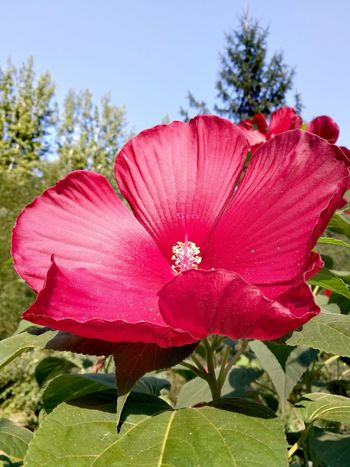 Flower Head Flower Red Pink Color Petal Sky Close-up Blooming Plant