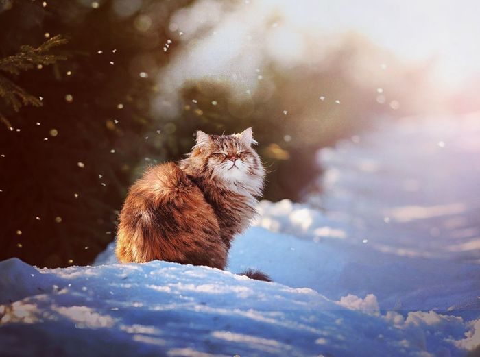 Cat Domestic Cat Animal Nature Winter Snow Winter Pets Cold Temperature Defocused Snowflake Close-up