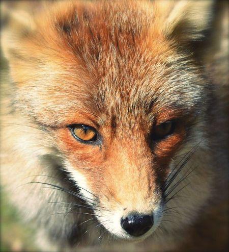 Fox Amazing Holland Photography AWD  Wildlife & Nature Hobby Wildlife Photography Beauty In Nature Wildlife Naturelovers