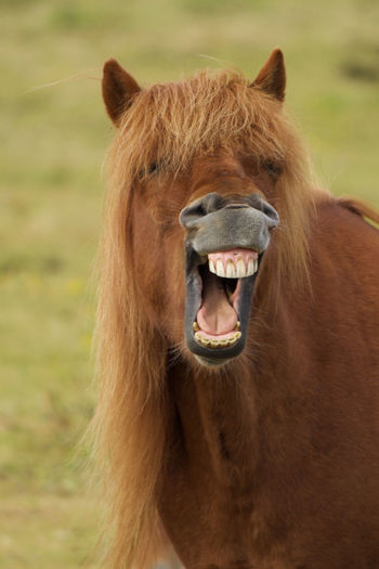 Animal Body Part Animal Hair Animal Head  Animal Themes Brush Your Teeth Domestic Animals Gaping Grass Islandic Horse Laughing Horse LOL Open Mouth Portrait Show Me Your Teeth Teeth Yawning Yawning Horse Colour Of Life Pet Portraits Rethink Things Focus On The Story