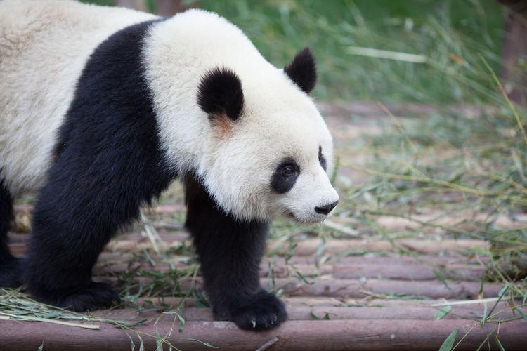 Panda walking in zoo