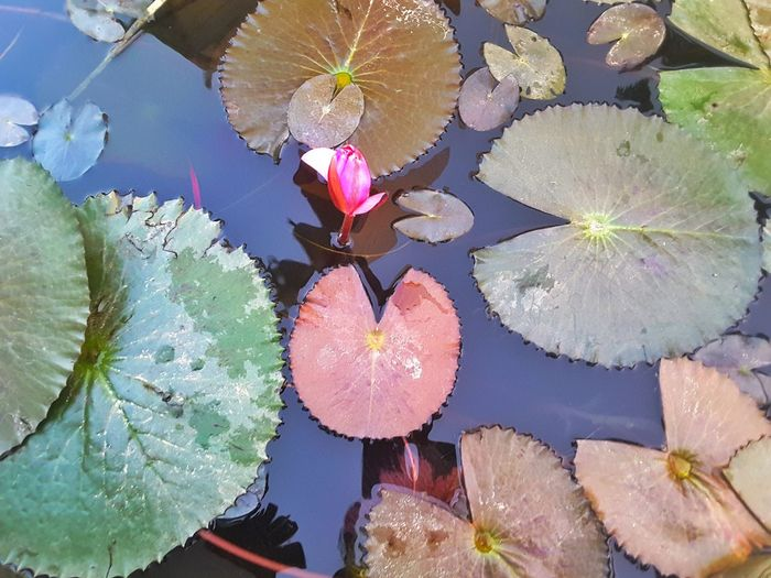 Water Floating On Water Water Lily Nature Outdoors Day High Angle View No People Leaf Full Frame Beauty In Nature Plant Lake Lily Pad Lotus Water Lily Multi Colored Flower Close-up Prickly Pear Cactus Black And White Friday