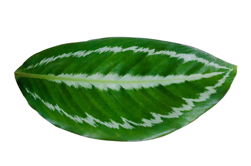 Calathea Medallion Calathea Crocata Calathea Zebrina Calathea Calatheamakoyana Close-up Cut Out Food Food And Drink Freshness Green Color High Angle View Indoors  Leaf Leaves Natural Pattern Nature No People Pattern Plant Plant Part Single Object Still Life Studio Shot White Background