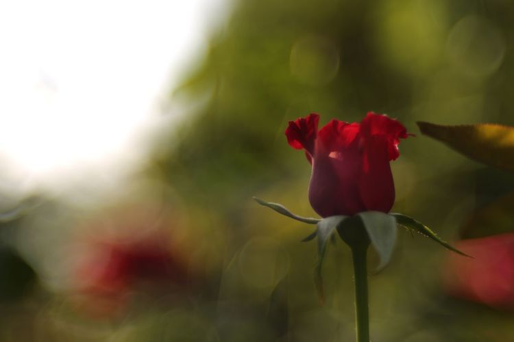 Immortal. EyeEm Nature Lover Flowers Roses Fukui Japan Bokehlicious Canon5Dmk3 Meyer-Optik-Görlitz Trioplan100 Soapbubblebokeh