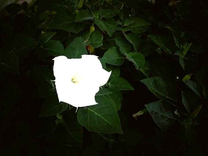 All Alone White Flower1 Flower Out Of A 1000 Leafs Nature Beauty In Nature Outdoors Plant Leaf Close-up EyeEm Nature Lover Plants Of Eyeem
