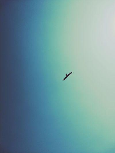 EyeEm Selects Mobile Photography Moto G5plusClick Bird Flying Bird Of Prey Blue Mid-air Water Sky Animal Themes Spread Wings Flight Black-headed Gull Bald Eagle Hawk - Bird Eagle - Bird Flapping Eagle Winged Falcon - Bird Airways Airshow EyeEmNewHere