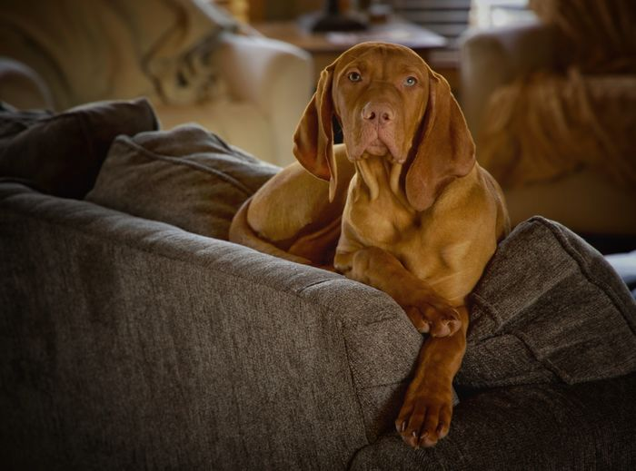 King Jack Viszla Puppy Dog Canine Pets One Animal Domestic Mammal Animal Themes Domestic Animals Furniture Animal Indoors  Sofa Relaxation Looking No People Looking Away Focus On Foreground