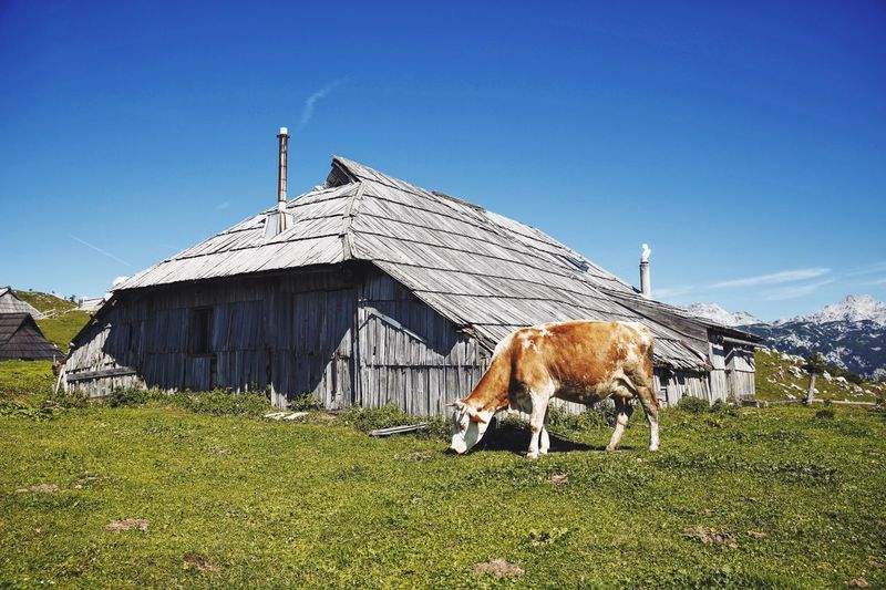Happy cow Mountains Farm Livestock Landscape Picoftheweek Rural Cow Milk Outdoors Travel Grass Organic Diaryhealthyfoods Countryside Freedom Happy