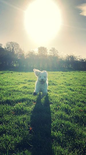 View of dog on field against bright sun