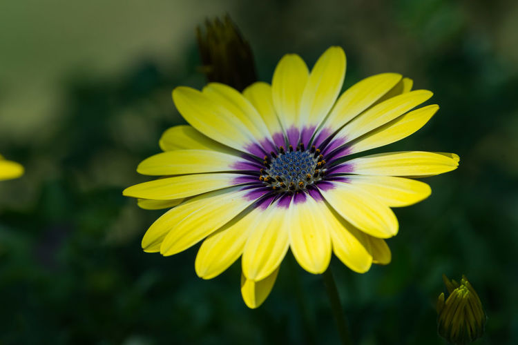 Close-Up Of Yellow Osteospermum Blooming Outdoors