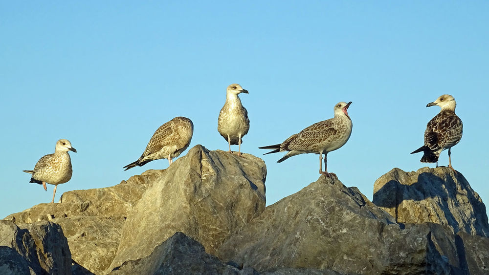Harbor Sea Birds Seagulls Animal Themes Animals In The Wild Bird Blue Chill Clear Sky Day Fish Eater Low Angle View No People Outdoors Portrait Rock - Object Sea Bird Seagull Seagull Family Sky