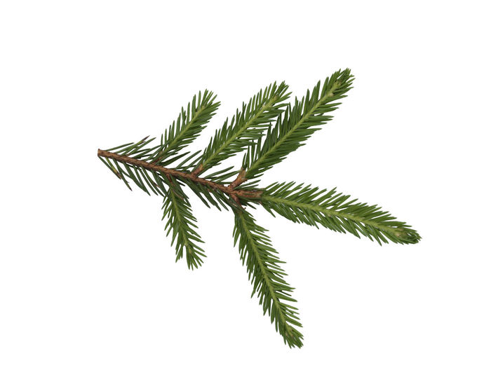 Closeup of fir branch isolated on a white background White; Decoration; Green; Tree; Christmas; Branch; Fir; Needle; Nature; Spruce; Ball; Evergreen; Coniferous; Background; Holiday; Plant; Xmas; Decorative; New; Year; Winter; Season; Pine; Natural; Flora; Celebration; Fresh; Foliage; Color White Background Leaf Studio Shot Plant Part Green Color Plant Cut Out Close-up No People Nature Growth Indoors  Copy Space Freshness Beauty In Nature Food And Drink Healthcare And Medicine Natural Pattern Food Herb Leaves
