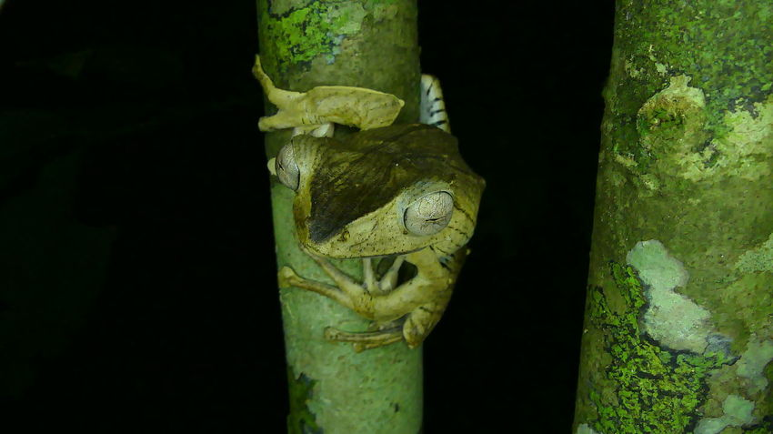 File-eared tree frog Frog Tropical Rainforest Borneo Rainforest Wonder Of Frogs Rainforest Frog Amphibians