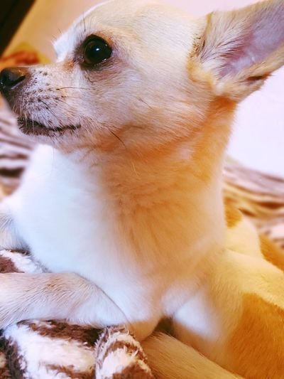 Dog Chihuahua Lovedogs Animals Chien Petit Chien Calm Tendresse Sweet Intelligent Gentil Réflexion First Eyeem Photo Chihuahualovers