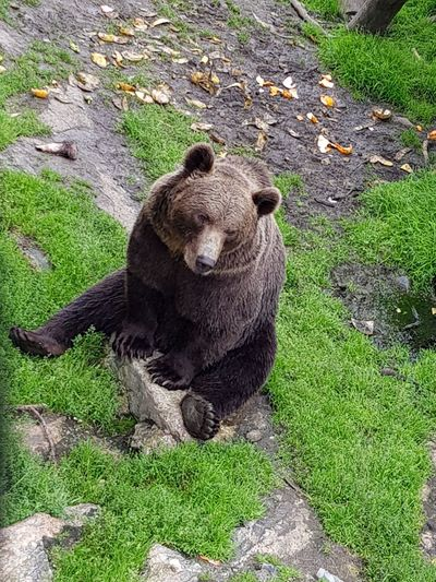 After dinner High Angle View Bear Grizzly Bear Animal Themes Grass