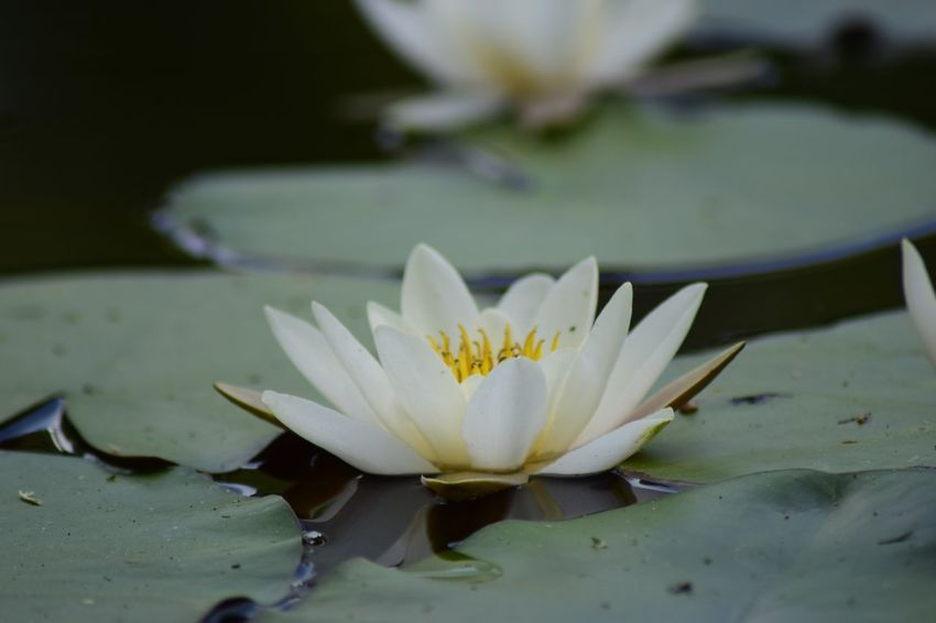 Flower Flowering Plant Freshness Plant Vulnerability  Water Lily Beauty In Nature Fragility Close-up Flower Head Growth Inflorescence Nature Water White Color Pond No People Lotus Water Lily