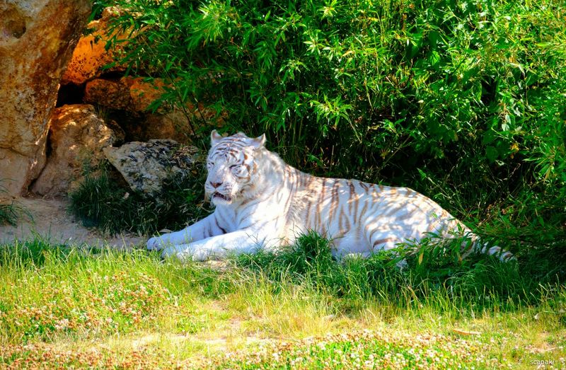 I finaly prefer my original shot Scanaki Tiger Animals Parc Des Lions White Tiger Cat IleDeFrance France Nofilternoedit Pets Corner NikonD5100 D5100nikon D5100 Nikon D5100  Nikonphotography Check This Out Popular Photos Dangerous Animals Beautiful Cat Protect Animals Protéger Les Félins Summer Memories 🌄