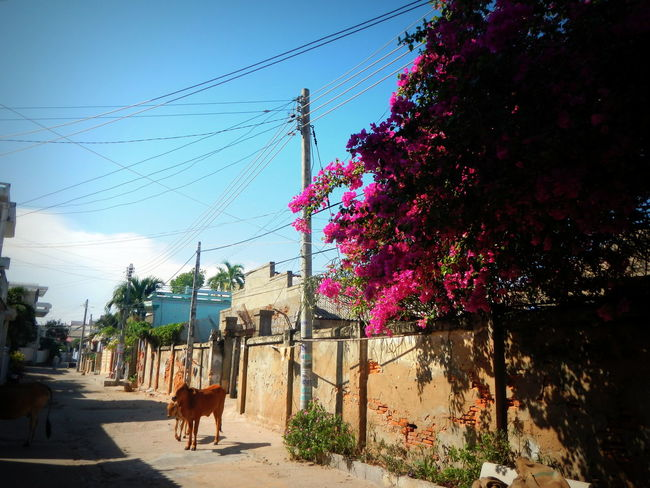 Animals ASIA Blue Sky Brown Cow Country Side Cows Culture Flowers Light And Shadow Narrow Peaceful Power Lines Purple Quiet Small Town Small Town Feel South East Asia Sunny Tradition Tranquil Scene Tranquility Vietnam Vietnamese Village Village Life