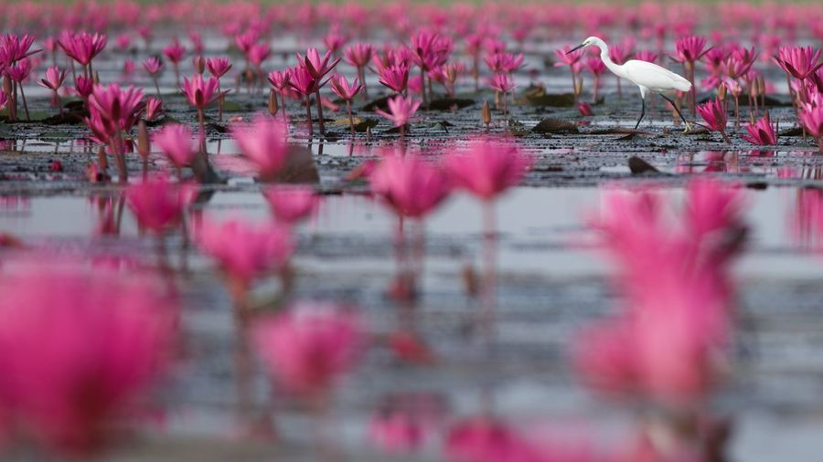 thailand Lotus Flower Reflection Pink Color Selective Focus Water Lake Bird Plant Beauty In Nature No People Nature Animal Animal Themes Vertebrate Animal Wildlife Day Animals In The Wild Outdoors Flower Flock Of Birds Waterfront Surface Level Lotus Leaf Lotus