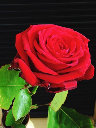 Nature beauty Roses Flowers Red Beautiful Flower Nice One Rose IPSNatural
