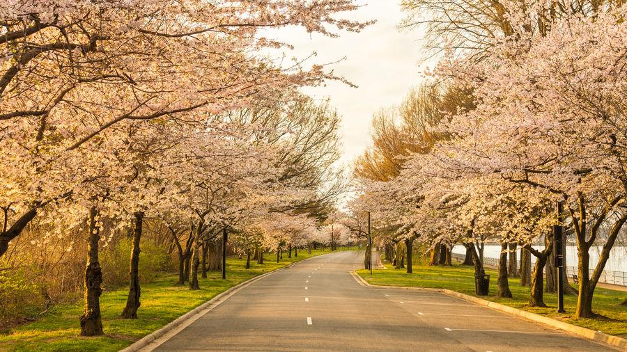Cherry trees in