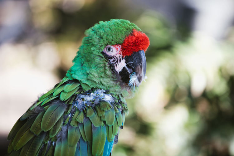 Close up of sick green macaw - exotic parrot without feathers