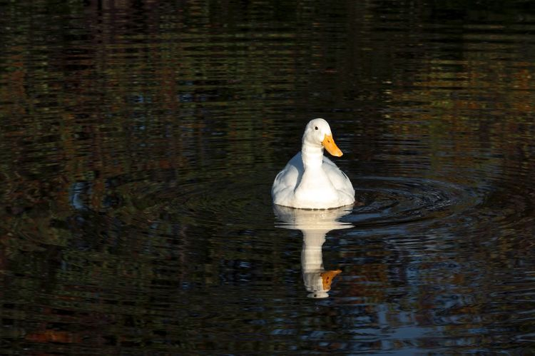 Alabama Animal Themes Animals In The Wild Bird Bookcover Duck Fallcolor Lake Perfect 4 Postcard Calendar Bookcover ! Reflection Water Reflections Wildlife Zoology