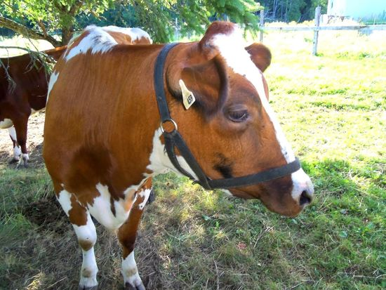 Animal Themes Cow Dairy Dairy Cow  Domestic Animals Family Farm Farm Farm Animal Farm Life Field Grass Husbandry Livestock Mammal Nature No People Organic Outdoors