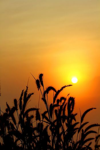 Silhouette of grass with sunshine Sunset Silhouette Nature Plant Growth Sun Sky Tree Outdoors No People Beauty In Nature Sunlight Scenics Rural Scene Palm Tree Flower Day Close-up Freshness Sunset Silhouettes Sunshine Light Grass EyeEmNewHere