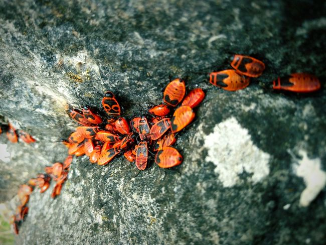 Beetle Traffic Jam. Outdoors Red Beauty In Nature Animal Themes Smartphonephotography Beetles Beetle Bug Bugs Käfer Nature Group Of Objects Group Of Animals The Great Outdoors - 2017 EyeEm Awards Feuerwanze Fire Bugs The Great Outdoors - 2018 EyeEm Awards