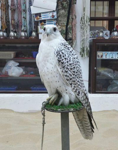 Falcon Birdofpreyphotograpy Doha#City#❤
