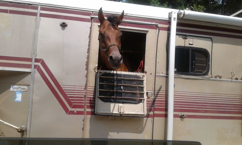 horse enjoying the ride Horse Horse Trailer