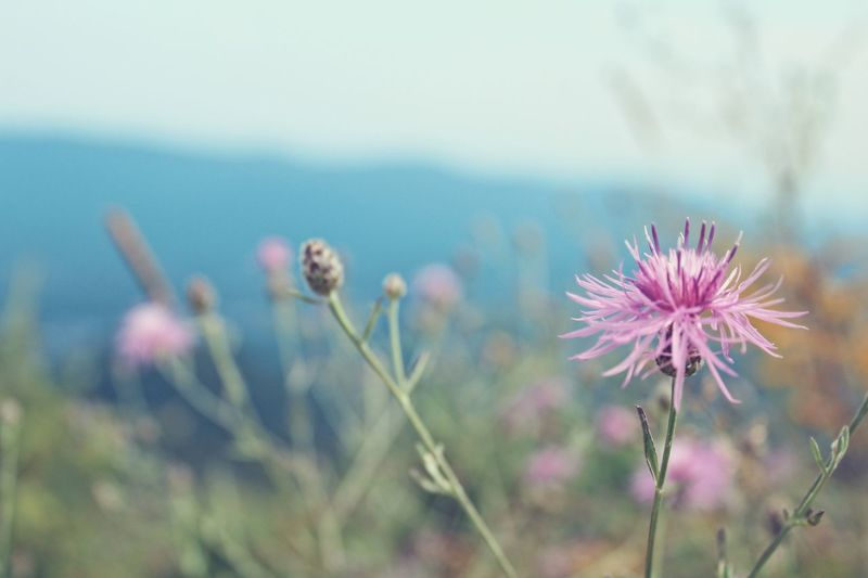 Close-up of pink thistle blooming against sky